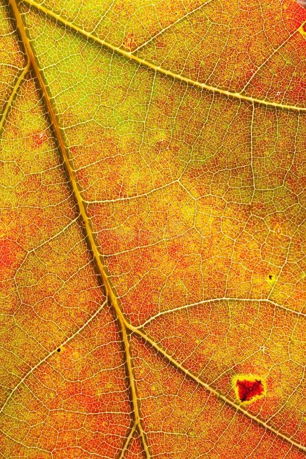 Autumn colors red orange yellow maple leaf detail stock photo