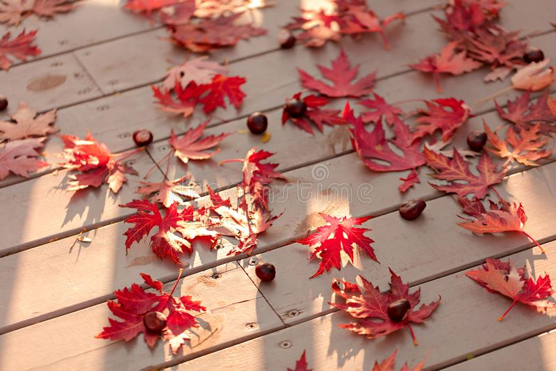 Autumn Colors Rode esdoornbladeren op grijze houten achtergrond selec stock afbeeldingen