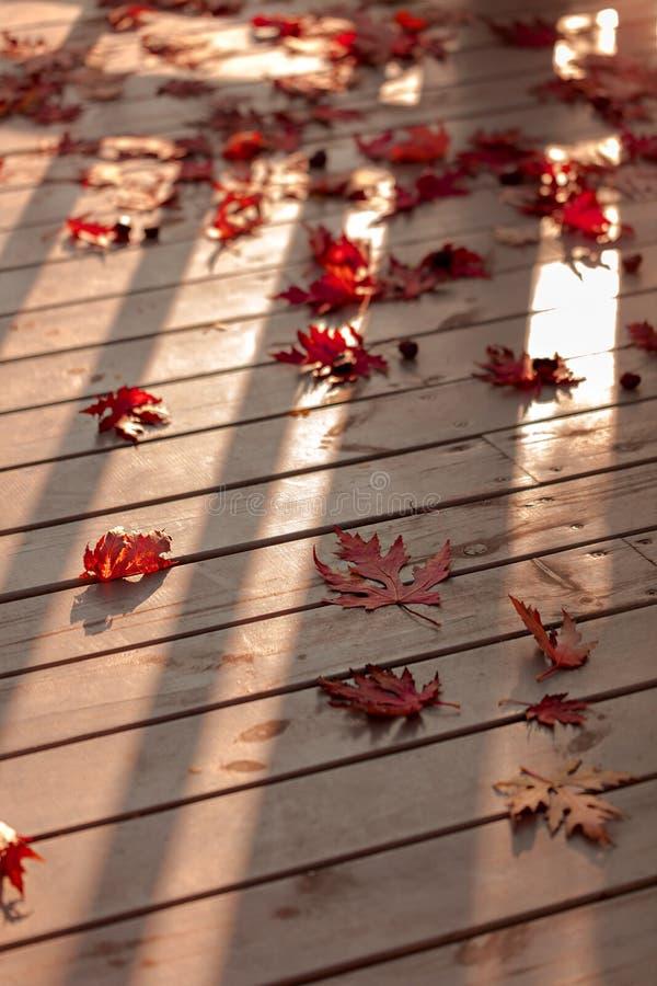 Autumn Colors Rode esdoornbladeren op grijze houten achtergrond selec royalty-vrije stock afbeelding