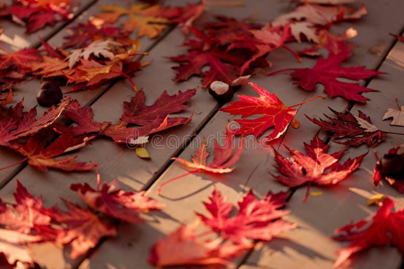 Autumn Colors Rode esdoornbladeren op grijze houten achtergrond selec royalty-vrije stock fotografie