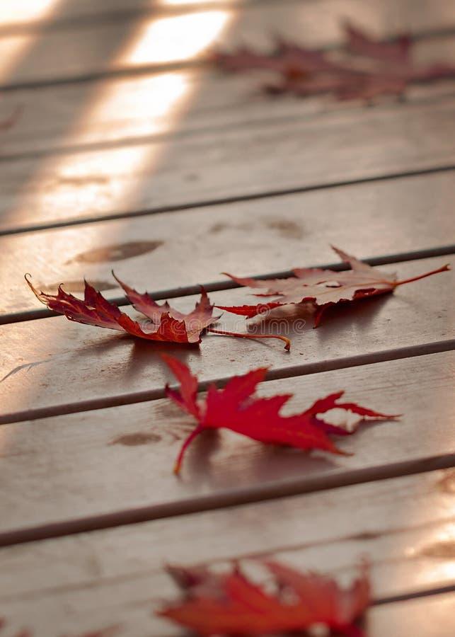 Autumn Colors Rode esdoornbladeren op grijze houten achtergrond selec royalty-vrije stock foto's