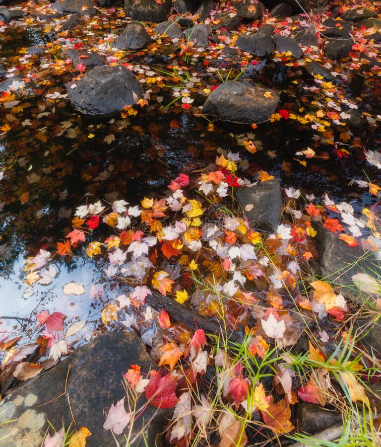 Autumn Colors & Stream on Duck Brook Road, Acadia National Park royalty free stock images
