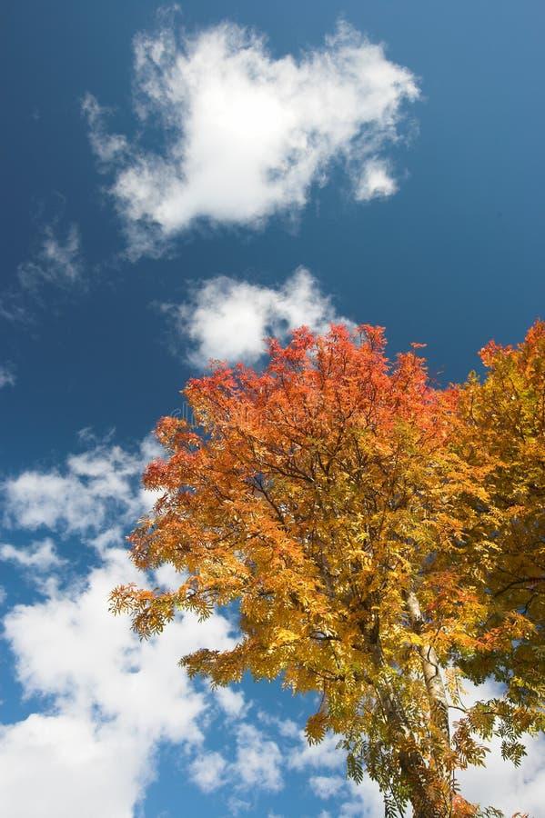 Autumn colors on tree royalty free stock photos