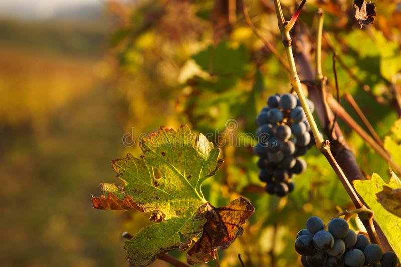 Rusty leaf in the autumn with blurred vineyard in the background royalty free stock images