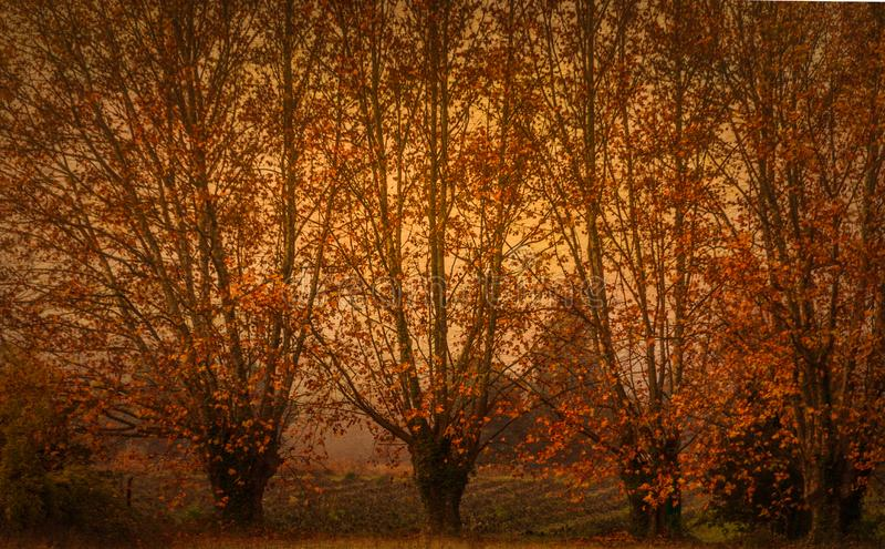 Autumn colour plaine trees in autumn,fall stock image
