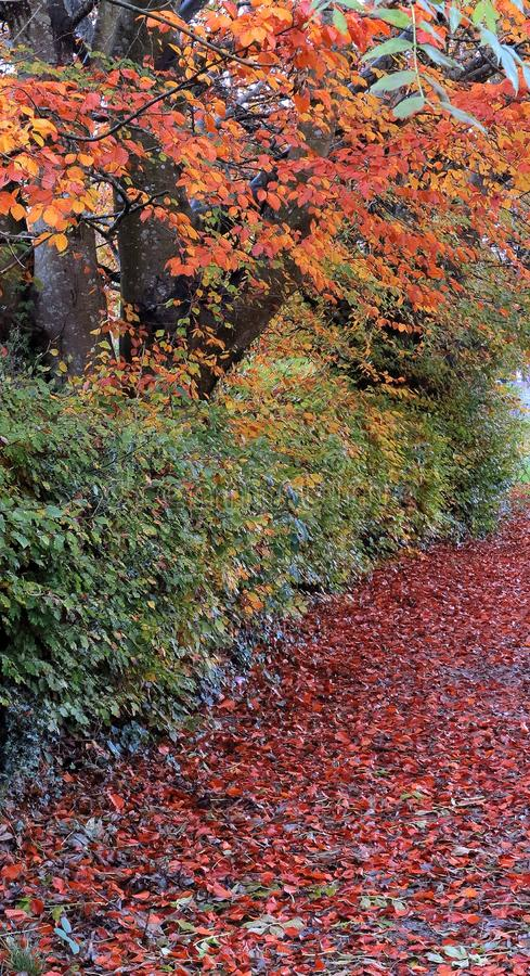 Autumn colours, after the rain, in tree, hedge, and scattering of leaves. stock image