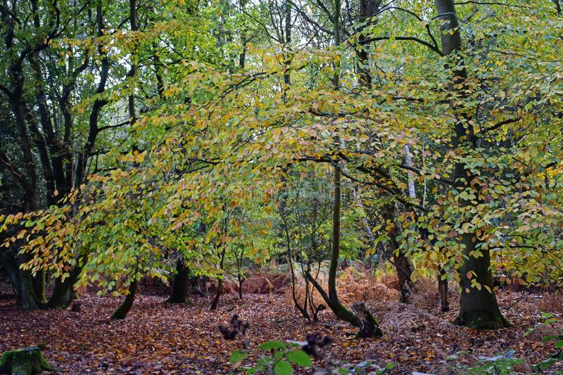 Autumn Colours, Strumpshaw Fen, Norfolk, England. Autumn Colours of trees and fallen leaves in woods at RSPB Nature Reserve at Strumpshaw Fen, Norfolk Broads royalty free stock photos