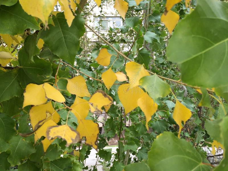Autumn come. Yellow leaves on tree royalty free stock photo