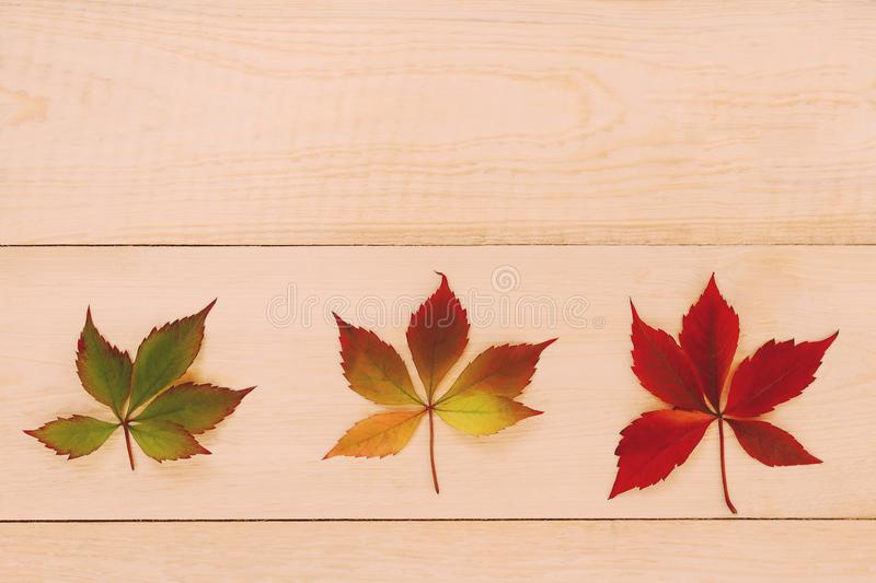 Autumn coming. Changing color. Fall is coming. Three leaves with changing color on a wooden table stock images