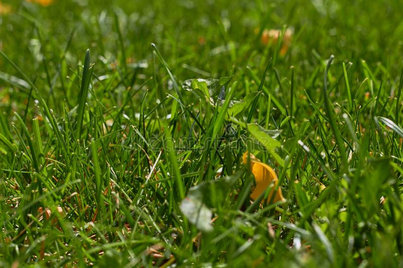 Autumn is coming. Fallen yellow leaf on green grass. Green natural grass background royalty free stock photography