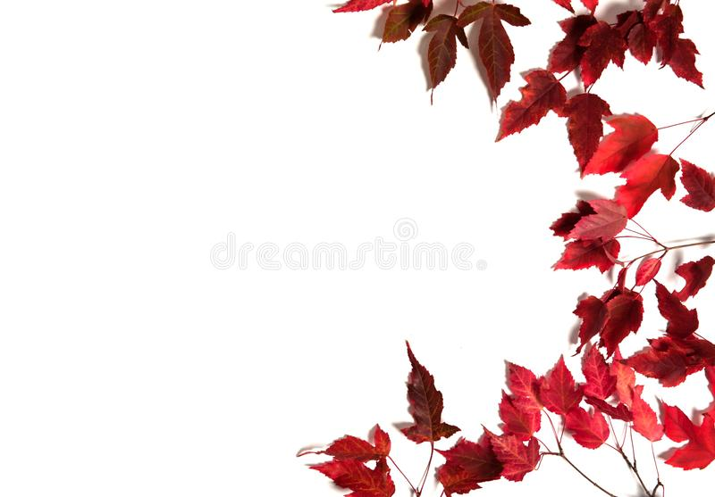 The border is made of maple branches with red autumn leaves on a white background. royalty free stock photos