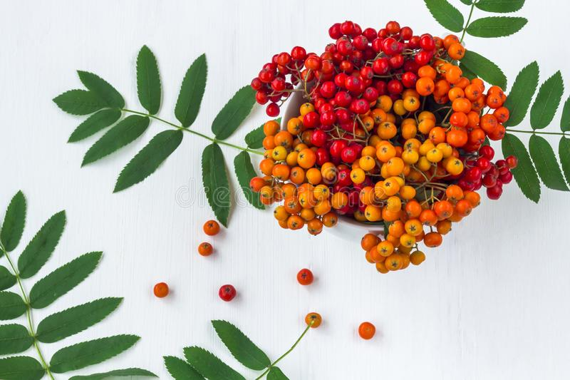 Autumn composition. A bunch of colorfull rowan berries in vase. On a white wooden rustic background. Autumn background. Top view, close up, frame, leaf stock images