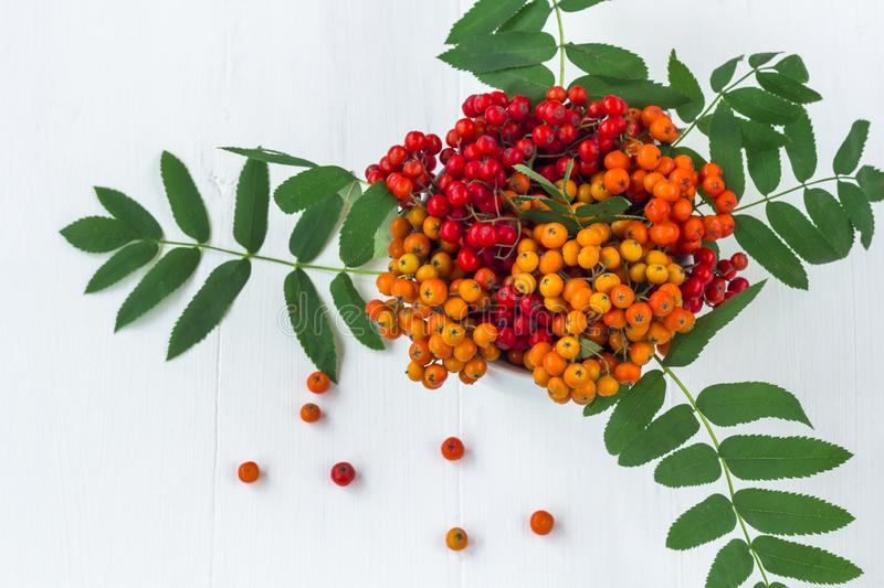 Autumn composition. A bunch of colorfull rowan berries in vase. On a white wooden rustic background. Autumn background. Top view, close up, frame, leaf royalty free stock photo