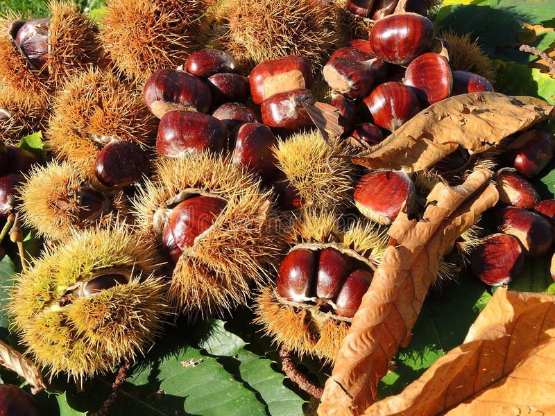 Autumn composition of chestnuts, hedgehog and chestnut leaves stock images