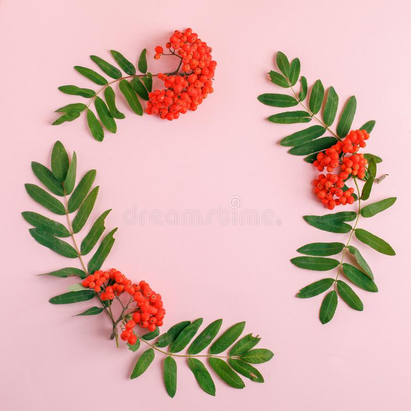 Autumn composition. Frame of leaves, rowan berries on a pink background. Fall background. Top view, copy space royalty free stock photography