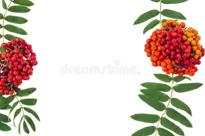 Autumn composition. Frame of leaves, rowan berries on a white wooden rustic background. Autumn composition. Frame of leaves, rowan berries isolated on a white royalty free stock photos