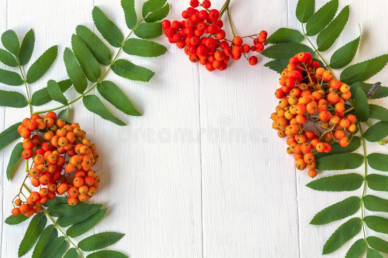 Autumn composition. Frame of leaves, rowan berries on a white wooden rustic background. Autumn background. Top view, copy space, leaf, pattern, september royalty free stock images
