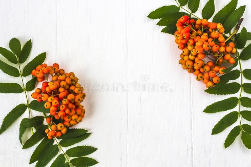 Autumn composition. Frame of leaves, rowan berries on a white wooden rustic background. Autumn background. Top view, copy space, leaf, pattern, september royalty free stock image
