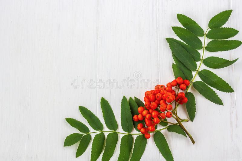 Autumn composition. Frame of leaves, rowan berries on a white wooden rustic background. Autumn background. Top view, copy space, leaf, pattern, september stock image
