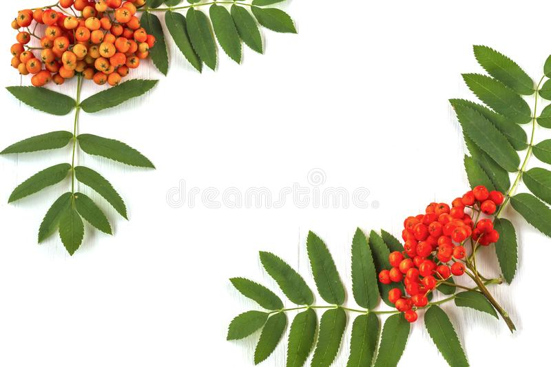 Autumn composition. Frame of leaves, rowan berries on a white wooden rustic. Background. Autumn background. Top view, copy space, leaf, pattern, september royalty free stock photo