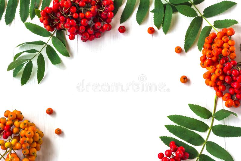 Autumn composition. Frame of leaves, rowan berries on a white wooden rustic background. Autumn background. Top view, copy space, leaf, pattern, september royalty free stock photo