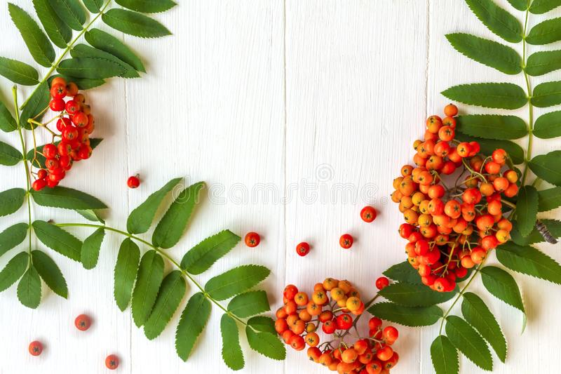 Autumn composition. Frame of leaves, rowan berries on a white wooden rustic background. Autumn background. Top view, copy space, flat lay, leaf, pattern royalty free stock photography