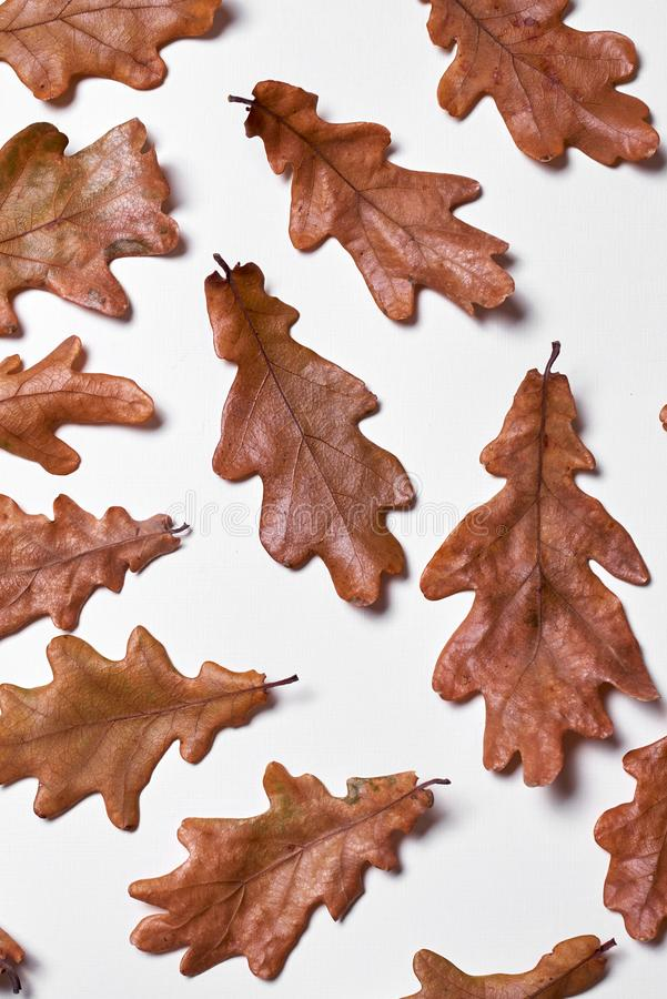 Autumn composition made of dried oak leaves on white background. Fall concept. Autumn thanksgiving texture. Flat lay, top view. Autumn composition made of dried royalty free stock photo