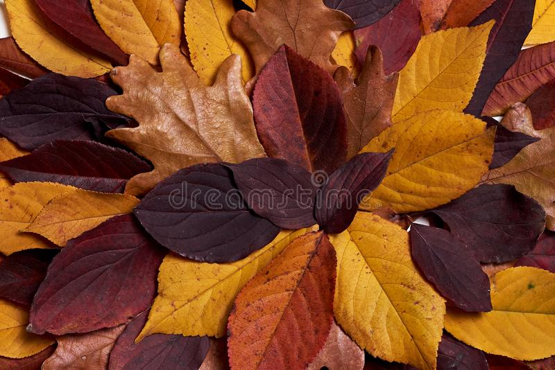 Autumn composition made of dried yellow and red leaves on white background. Fall concept. Autumn thanksgiving texture. Flat lay. Autumn composition made of royalty free stock images