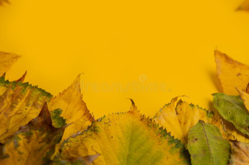 Autumn composition. Multicolor green yellow, red, maple leaves isolated on yellow background. Flat lay, top view, copy space. Fall stock photo