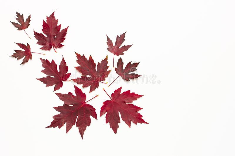 Autumn composition. Red burgundy maple leaves isolated on white background. Flat lay, top view, copy space. Fall concept. Autumn stock photo