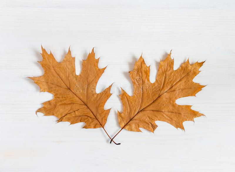 Autumn composition. Two dry maple leaves on a white wooden background. Autumn thanksgiving day background. Fall concept royalty free stock image