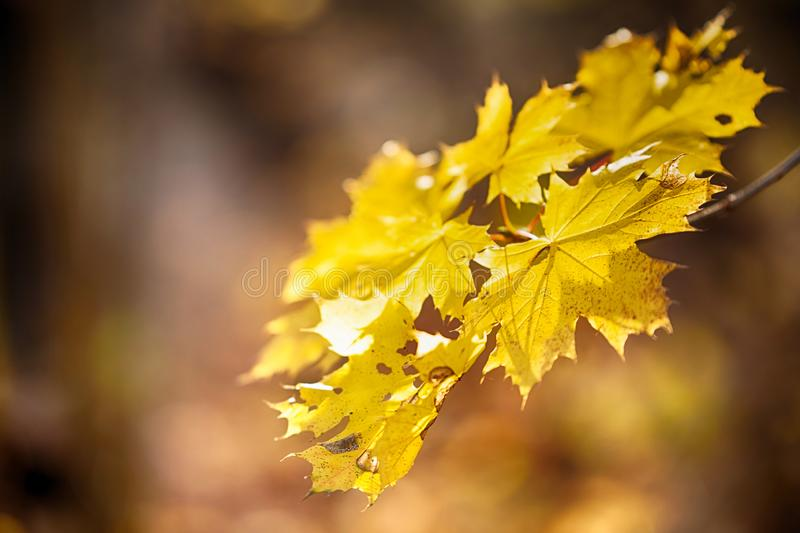 Autumn concept with yellow leaves, blurred background royalty free stock photography