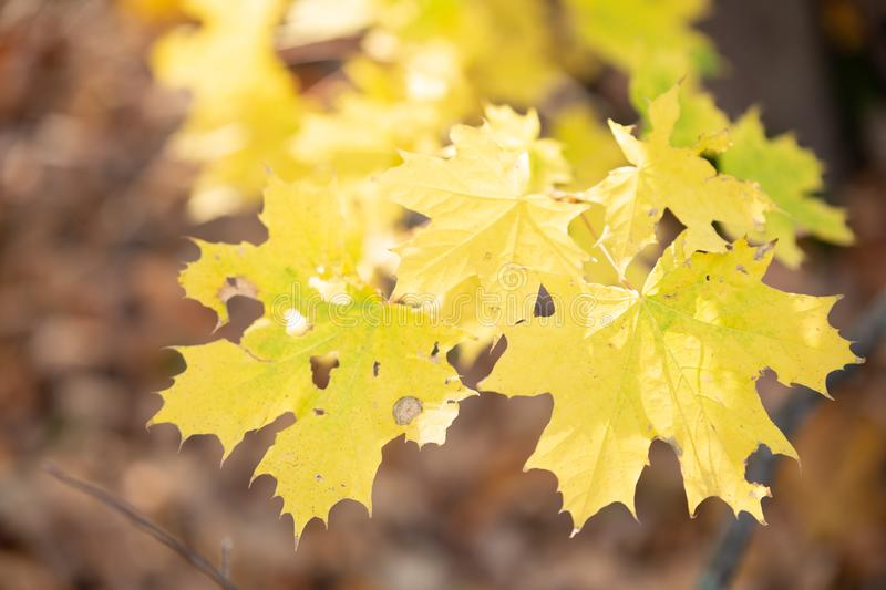 Autumn concept with yellow leaves, blurred background royalty free stock images
