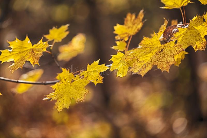 Autumn concept with yellow leaves, blurred background royalty free stock photo