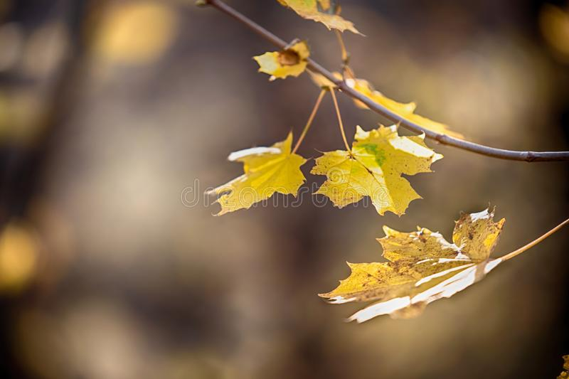 Autumn concept with yellow leaves, blurred background royalty free stock image