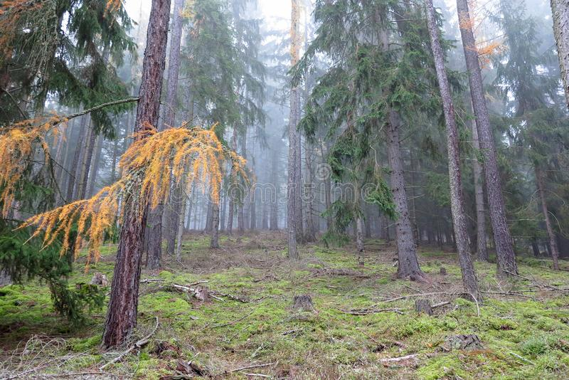 Autumn coniferous forest in the morning stock photography