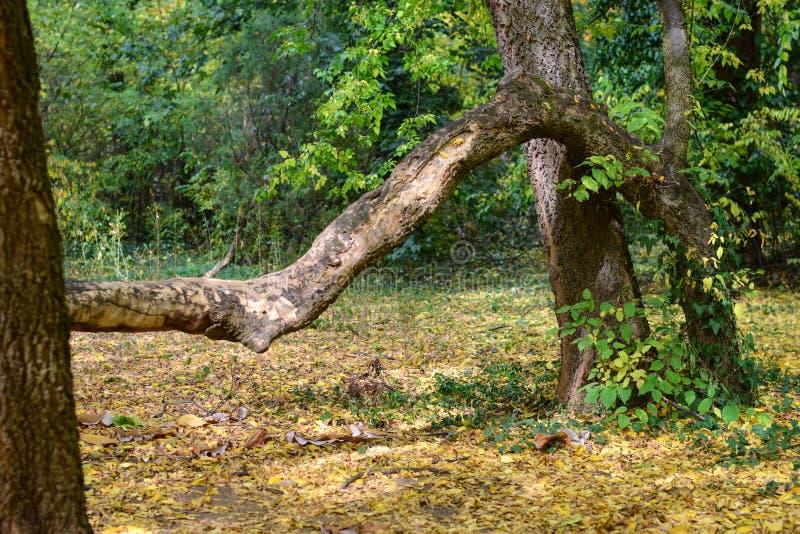 Autumn contorted tree at botanical garden stock photos