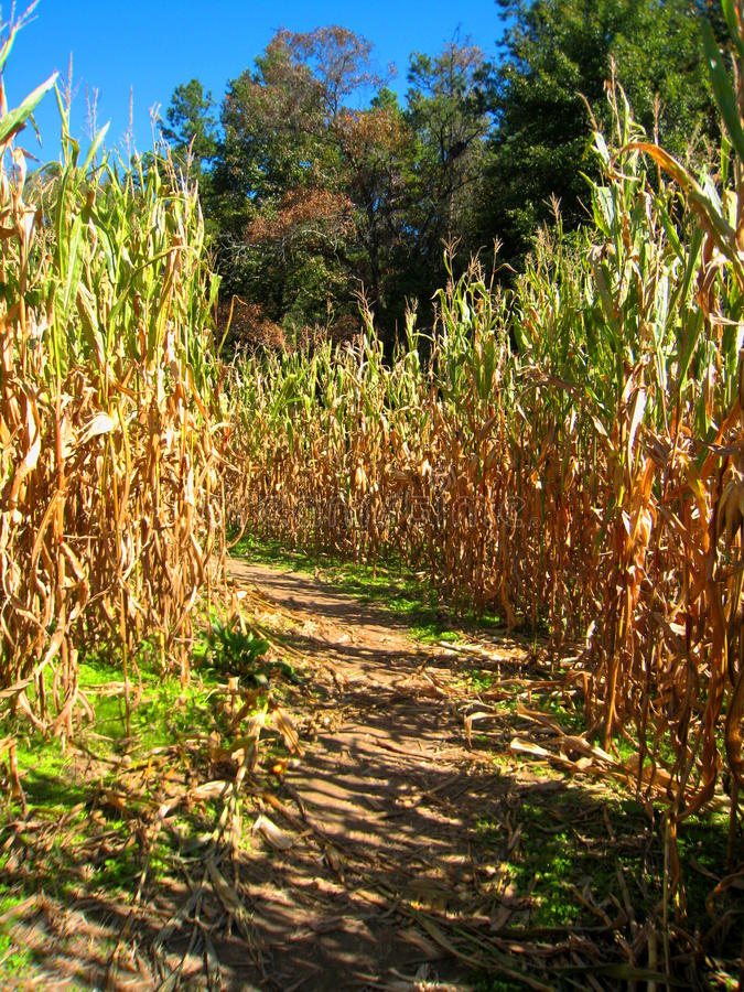 Autumn Corn Maze fotos de stock