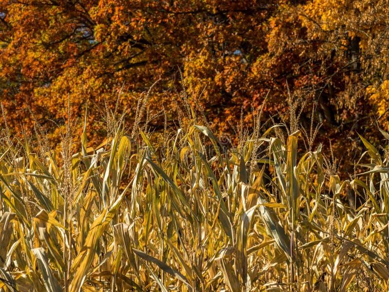 Autumn Cornstalks e querce immagine stock libera da diritti