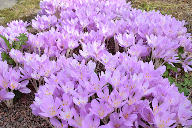 Autumn crocus. Colchicum autumnale, commonly known as autumn crocus, meadow saffron or naked lady stock images