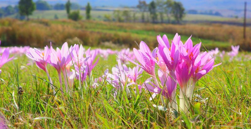 Autumn Crocus In The Field Royalty Free Stock Photography