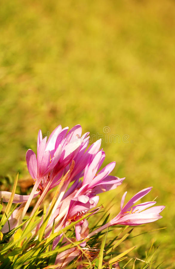 Download Autumn crocuses stock photo. Image of meadow, environmental - 16957240