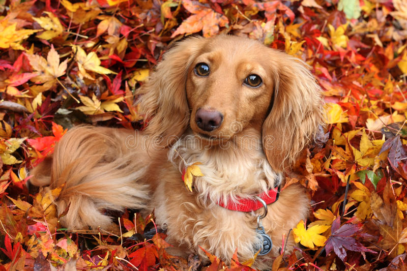 Autumn dachshund dog. Dachshund dog surrounded by autumn leaves