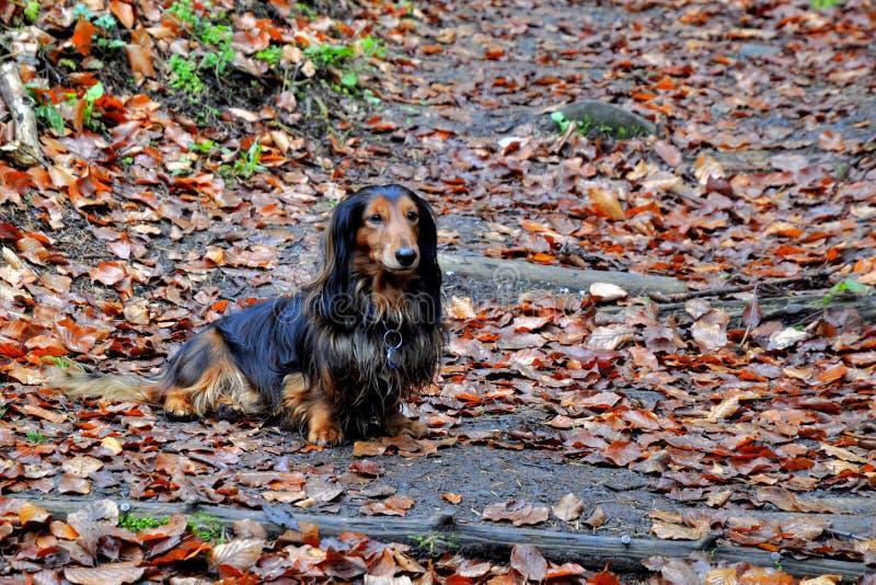 Autumn dachshund dog. Dachshund dog surrounded by autumn leaves stock images