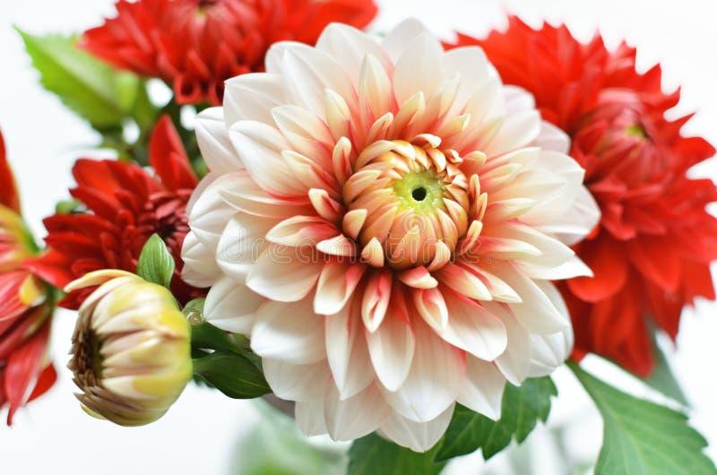 Autumn dahlias bouquet. Autumn red and white colores dahlias bouquet royalty free stock photo