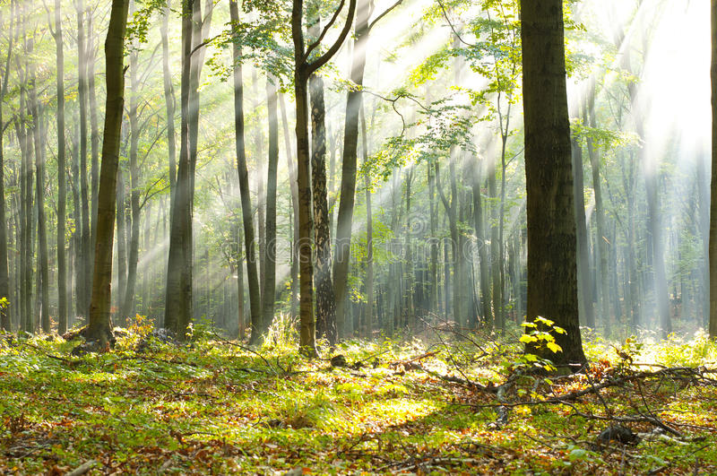 Forest dawn royalty free stock image