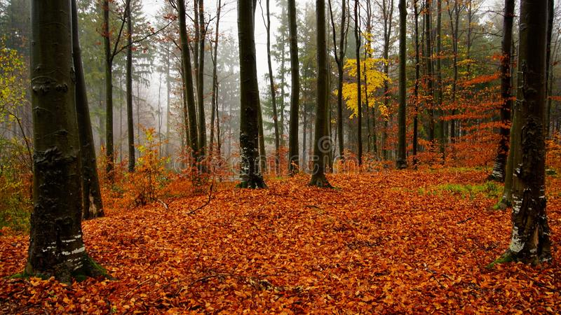 Autumn days. Forest on a rainy autumn day royalty free stock photography