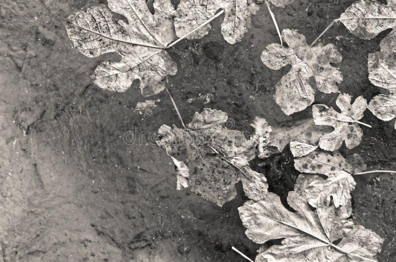 Autumn Decomposing Leaves Foating na superfície da água fotos de stock royalty free