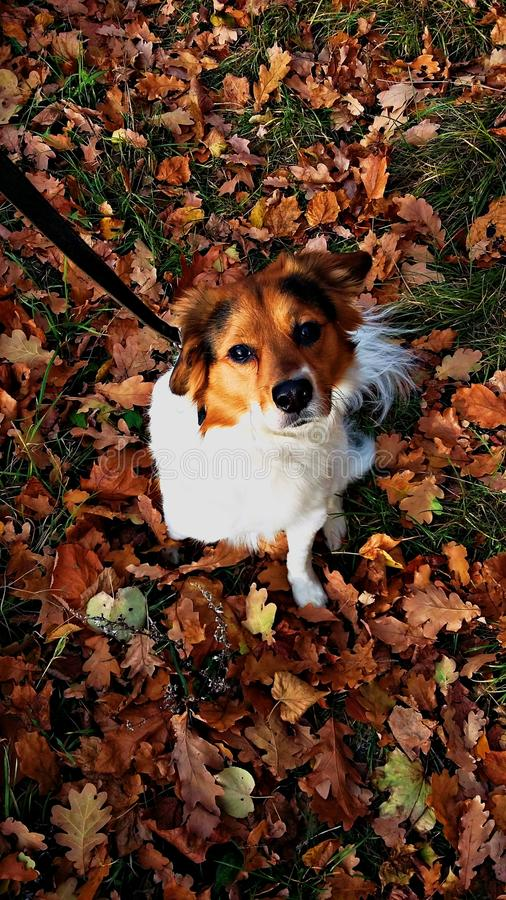 Autumn Dog stock foto