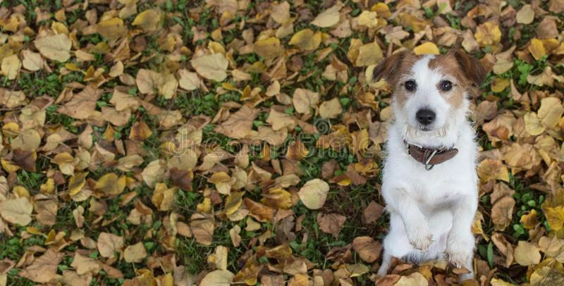AUTUMN DOG BANNER BACKGROUNDS. CUTE JACK RUSSELL DOG SITTING ON TWO LEGS BEGGING FOOD ON YELLOW FALL LEAVES.  royalty free stock photos